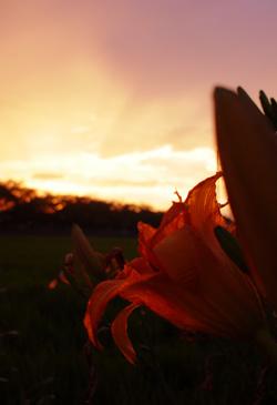 夕焼けに染まるノカンゾウ