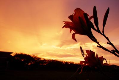 ノカンゾウと赤い夕焼け