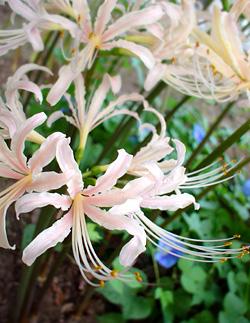 白花彼岸花と青い朝顔