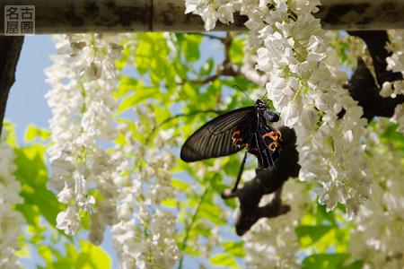藤が咲く名城公園