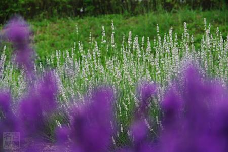 荒子川公園のラベンダー畑