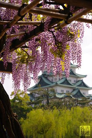 名城公園の藤と名古屋城
