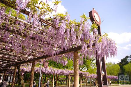 名城公園の藤