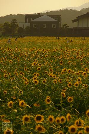 大垣市青野町のひまわり畑