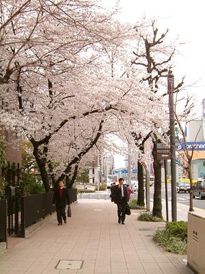 オアシス21向かいの桜