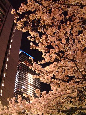 西柳公園の満開の桜とミッドランドスクエアのネオン