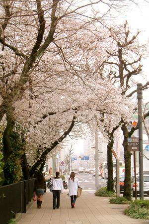 今年も咲いた、オアシス21南の桜のトンネル