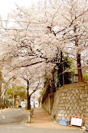 大須小学校の桜坂