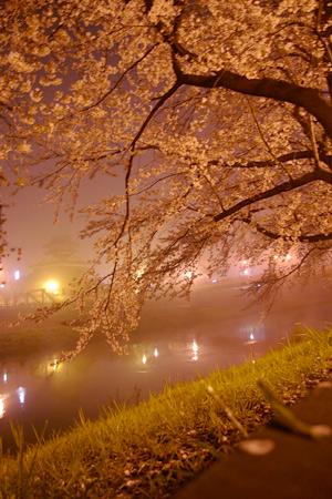 清洲古城跡公園の桜