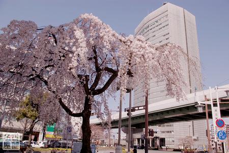 泥江町交差点のしだれ桜