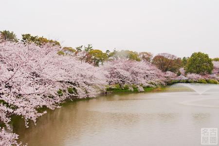 桜と雨と名古屋城