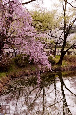 平和公園の桜