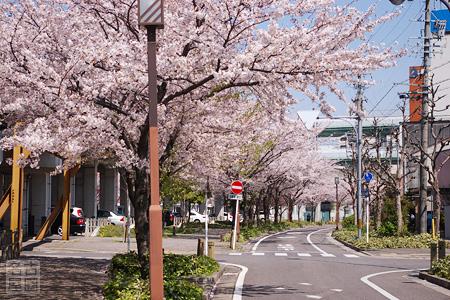 清水駅へと続く桜並木
