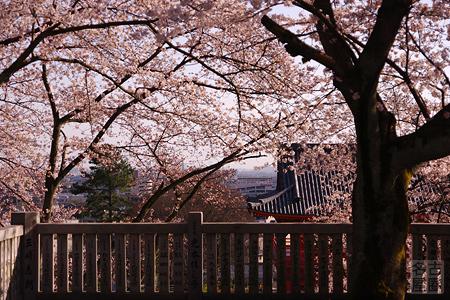 成田山の桜