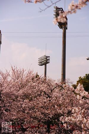 顔をのぞかせるグラウンドの照明 山崎川の桜