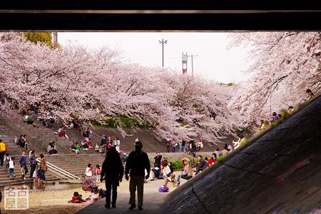 橋の下からの眺め 山崎川の桜