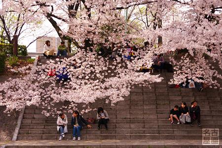 桜並木の下の石段 山崎川の桜