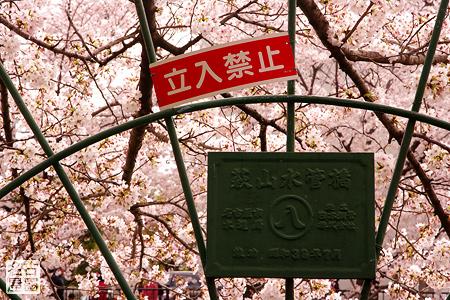 水管橋 山崎川の桜