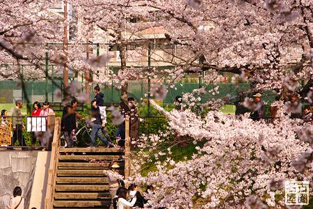 堤防を歩くひとたち 山崎川の桜