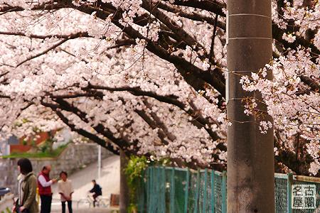 弥富公園の桜