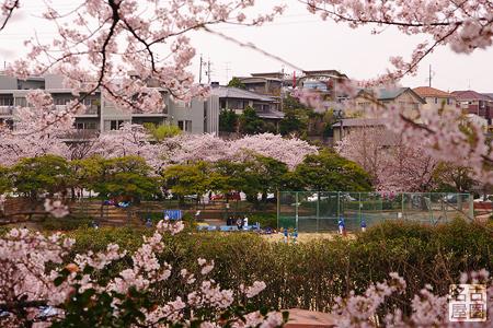 弥富公園のグラウンドと桜 弥富公園