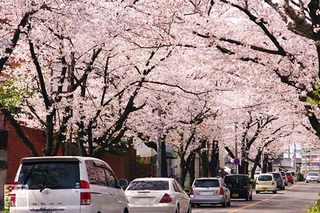 弥富公園西の桜並木