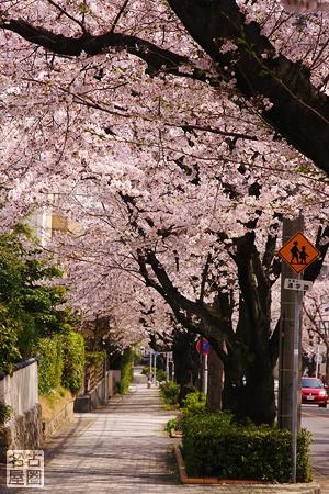 弥富公園西の桜並木 弥富公園西の桜並木 心地よい木漏れ日が歩道に影を落としています。 通学路..