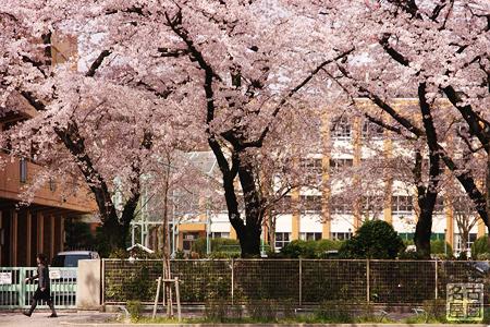 名城小学校の桜