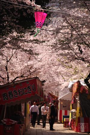 桜満開の那古野神社
