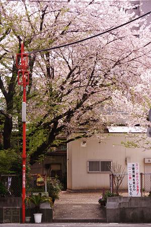 大須消防団詰所の桜