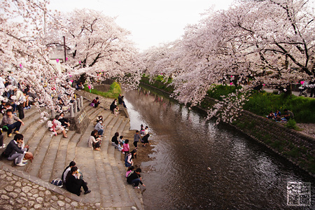 岩倉・五条川の桜