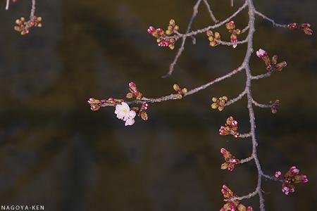 名古屋で開花宣言!